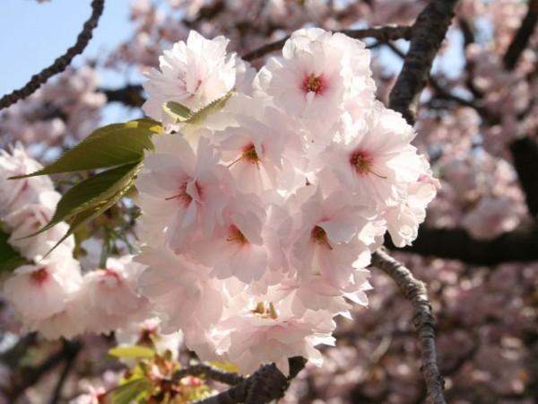 造幣局公式 2015今年の花【一葉(いちよう)】